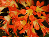 Close View of a Cluster of Flowers  Vancouver  British Columbia  Canada