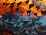 Close-Up of Pheasant Feathers Showing Iridescence and Pattern  Medicine Rocks  Montana  USA