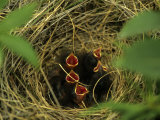 Savannah Sparrow Nest on Ground  Alaska  United States