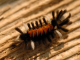 Milkweed Tussock Moth Caterpillar  Westford  Massachusetts