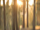 Blurred View of Conifer Trees at Sunset  Stanislaus National Forest Reserve  California