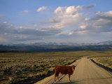 Steer on a Dirt Road  Pinedale  Wyoming