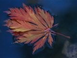 Single Fallen Japanese Maple Leaf Floats in the Water  New York