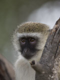 Black-Faced Vervet Monkey Perched in a Tree  Mombo  Okavango Delta  Botswana