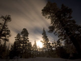 Conifer Trees in Moonlight at Sonora Pass in Winter  Stanislaus National Forest Reserve  California