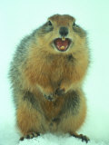 Arctic Ground Squirrel Barring its Teeth  Northwest Territories  Canada