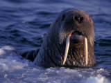 Portrait of an Atlantic Walrus  Odobenus Rosmarus  Arctic Circle  Canada