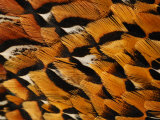 Close-Up of Pheasant Feathers  Medicine Rocks  Montana  USA
