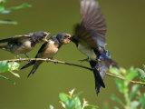 Barn Swallow Chicks  Hirundo Rustica  Being Fed by a Hovering Parent  Arlington  Massachusetts  USA