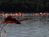 Flamingo Takes Flight  Celestun National Park  Yucatan State  Mexico
