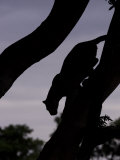 Silhouetted Leopard Descending a Tree Branch at Twilight  Mombo  Okavango Delta  Botswana