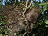Porcupine Climbing Among Tree Branches  Ekalaka  Montana