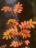 Colorful Sumac Leaves in Fall in the Stanislaus National Forest