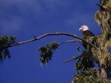 American Bald Eagle Perched in a Treetop  Vancouver Island  British Columbia  Canada