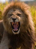 Male African Lion  Panthera Leo  with a Snarling Grimmace on His Face