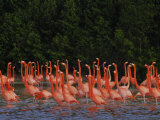 Pink Flamingos Against a Backdrop of Green Trees and Reflections