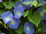 Morning Glories in Bloom in Arlington  Massachusetts  USA