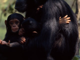 Twins  Extremely Rare in Chimpanzees  with their Mother  Gombe Stream National Park  Tanzania