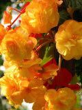 Yellow Begonia Flowers  Victoria  British Columbia  Canada