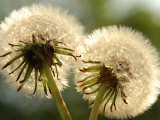 Close-Up of Two Dandelions  Arlington  Massachusetts  USA