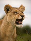 Portrait of a Snarling Aggressive Lioness  Duba Plains  Okavango Delta  Botswana