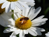 Flower Fly Drinking Nectar from a Daisy  Belmont  Massachusetts  USA