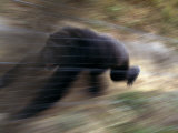 Panned View of Running Adult Male Chimpanzee