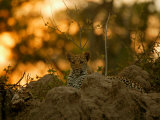 Leopard Rests in the Safety of a Rock Outcrop as Evening Descends  Mombo  Okavango Delta  Botswana
