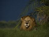 African Lion Resting Near a Palm  Duba Plains  Okavango Delta  Botswana