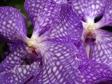 Vanda Tokyo Blue Orchid Flowers