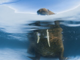Atlantic Walrus Bull Resting on a Piece of Multiyear Ice  Foxe Basin  Nunavut  Canada