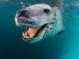Close View of a Leopard Seal&#39;s Tooth-Filled Mouth  Antarctica