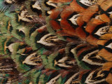 Close-Up of Pheasant Feathers  Medicine Rocks  Montana