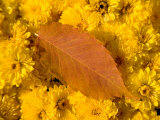 Yellow Autumn Leaf Lies on a Bunch of Chrysanthemums  New Castle  Delaware