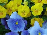 Pansy Flowers in a Garden  Belmont  Massachusetts  USA