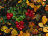 Lowbush Cranberries in the Yukon  Canada
