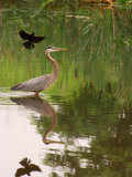 Great Blue Heron in a Pond Is Mobbed by a Male Red Winged Blackbird  Arlington  Massachusetts  USA