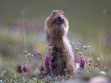Arctic Ground Squirrel Watches for Danger as it Feeds on Seeds  Denali National Park  Alaska