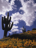 Saguaro Cacti and California Poppies under a Cloud-Filled Sky  Saguaro National Monument  Arizona