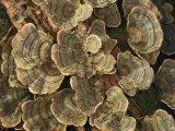 Close View of Turkey-Tail Fungi in Estabrook Woods  Concord  Massachusetts