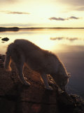 Husky Approaches the Shore  Yellowknife  Northwest Territories  Canada