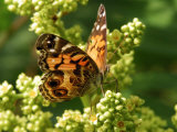 American Painted Lady Butterfly Visiting Flowers for Nectar in Meadow  Belmont  Massachusetts  USA