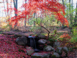 Japanese Maple Tree with Red Leaves in the Fall  Next to a Waterfall  New York