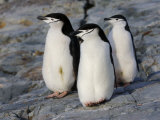 Three Chinstrap Penguins on a Rock  Antarctica