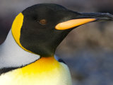 Close Portrait of the Head of a King Penguin  Gold Harbor  South Georgia Island  Antarctica