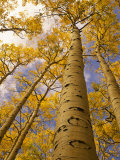 Looking Up at Towering Aspen Trees in Autumn Hues