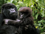Female Mountain Gorilla and Her Child  Rwanda