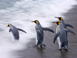 King Penguins Entering the Surf on a Beach  Gold Harbor  South Georgia Island  Antarctica