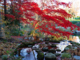 Japanese Maple with Colorful  Red Foliage at a Stream&#39;s Edge  New York