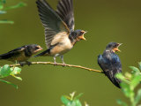 Three Barn Swallow Fledglings Begging for a Meal  Arlington  Massachusetts  USA